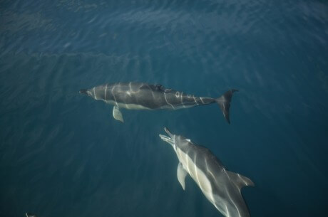 Unfriendly dolphin - a common dolphin takes aim at another