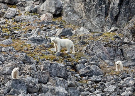 A mother polar bear and her two cubs on a rocky hillside in Baffin Island