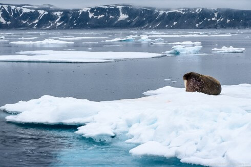 A bull walrus lies on an ice floe north of Nordaustlandet.