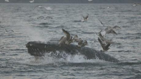 Lunge feeding humpback