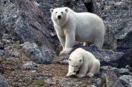The Adaptable Polar Bear