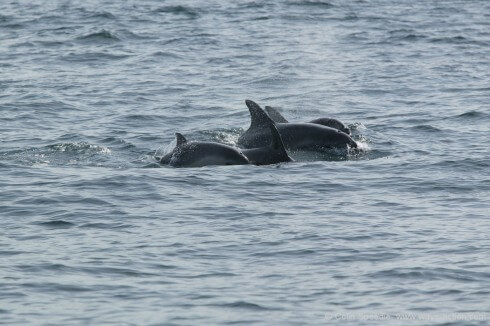 Bottlenose dolphins mothers are strongly protective of their offspring, preferring to avoid boats, so it's rare to get a good image of the youngsters. This picture shows just how powerful that bond is, with the two calves sticking close to their mothers. By handling the boat carefully and allowing them to overtake us, they plucked up the courage to come and take a quick look at us, but without a long lens the image would have no impact at all. A happy combination of great new technology and old-fashioned fieldcraft.