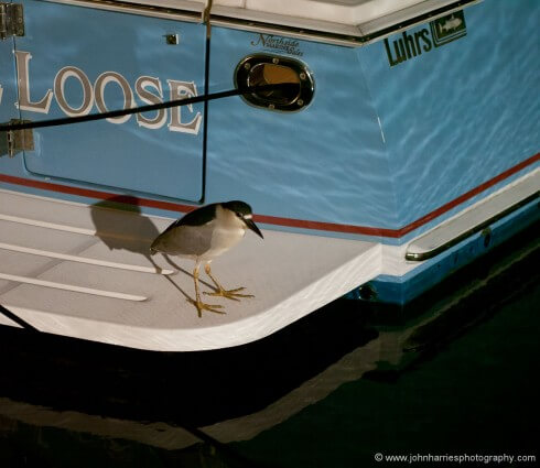 These night herons hang around the marina and fish all night. I included this shot both because I like it and to show you what can be done once you take a step up in camera quality. This was taken with a mirrorless camera at ISO 1600 with a 90mm prime lens wide open at F1.8 in near darkness. Try this with a point and shoot and all you will have is a noisy pixilated mess.