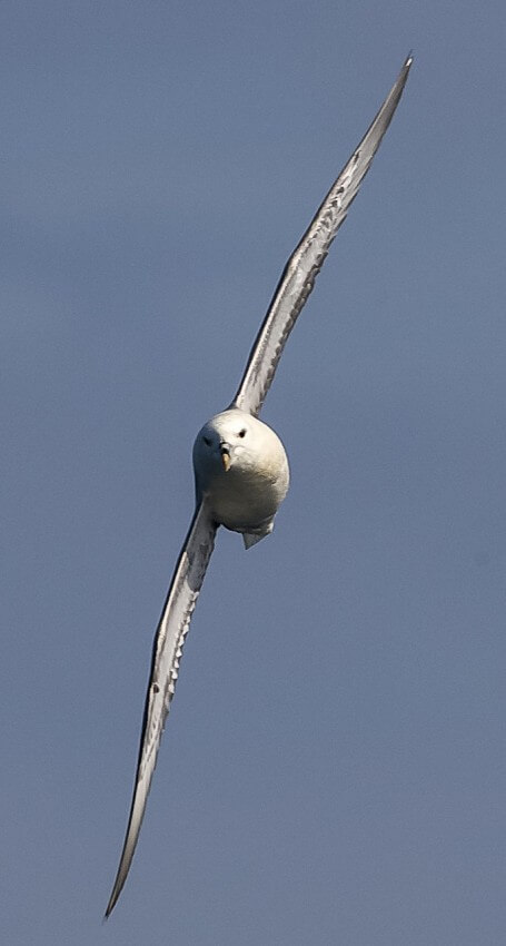 A fulmar performs aerobatics around our stern
