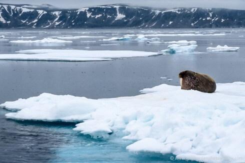 A bull walrus lies on an ice floe north of Nordaustlandet.